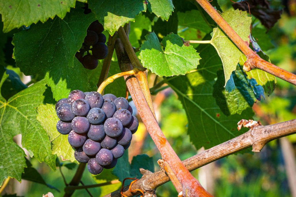 Week of prayer for christian unity - the vine and the branches
